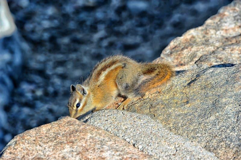 Esquilo em uma rocha imagem de stock