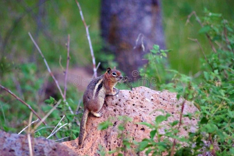 Esquilo empoleirado em uma rocha na floresta imagens de stock royalty free