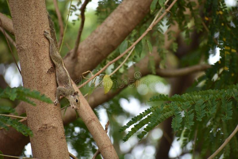 Esquilo fêmea imagens de stock