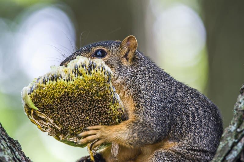 Esquilo, girassol fotos de stock