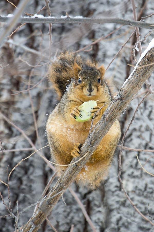 Esquilo gordo fotos de stock
