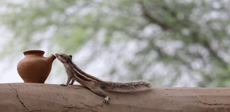 Esquilo | imagem sedento do esquilo imagem de stock royalty free