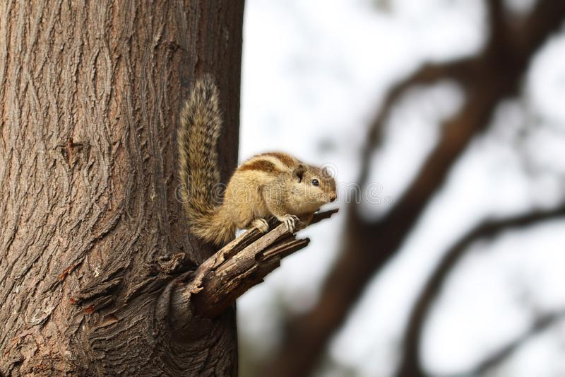 Esquilo indiano da palma foto de stock
