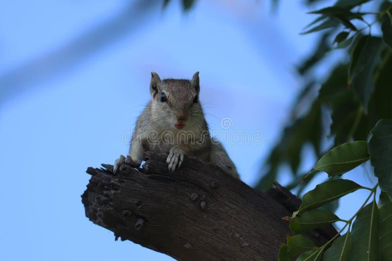 Esquilo indiano da palma que senta-se na ?rvore imagens de stock royalty free