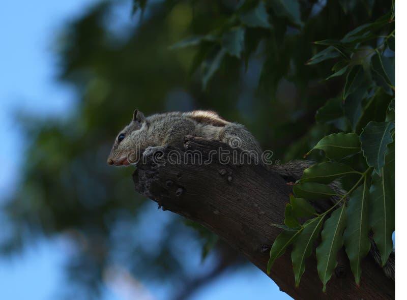 Esquilo indiano da palma que senta-se na ?rvore e em olhar fixamente fotos de stock