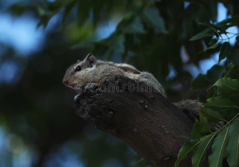 Esquilo indiano da palma que senta-se na ?rvore e em olhar fixamente fotografia de stock royalty free