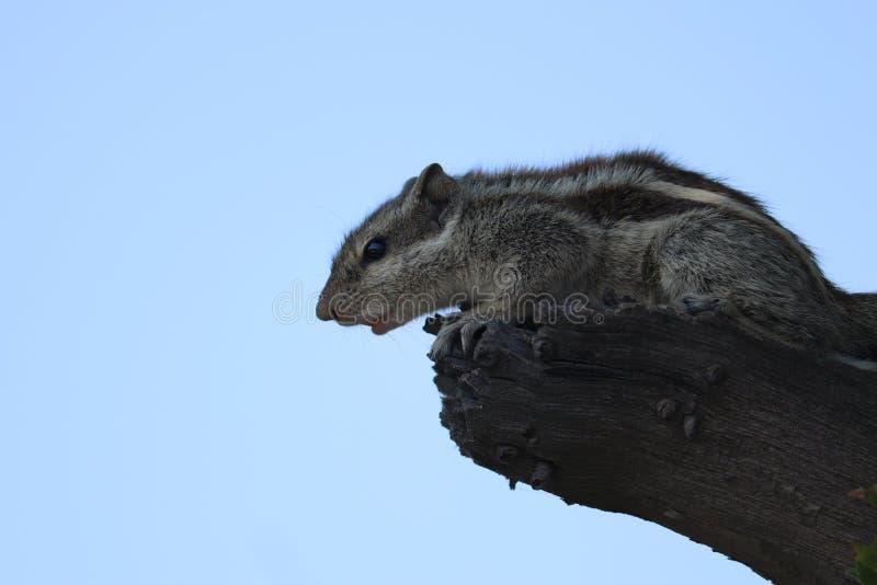 Esquilo indiano da palma que senta-se na ?rvore fotografia de stock royalty free