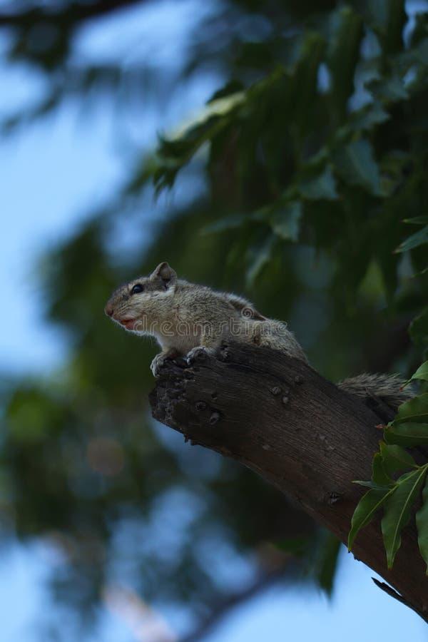 Esquilo indiano da palma que senta-se na ?rvore imagem de stock royalty free
