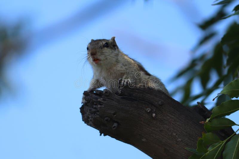Esquilo indiano da palma que senta-se na ?rvore foto de stock royalty free