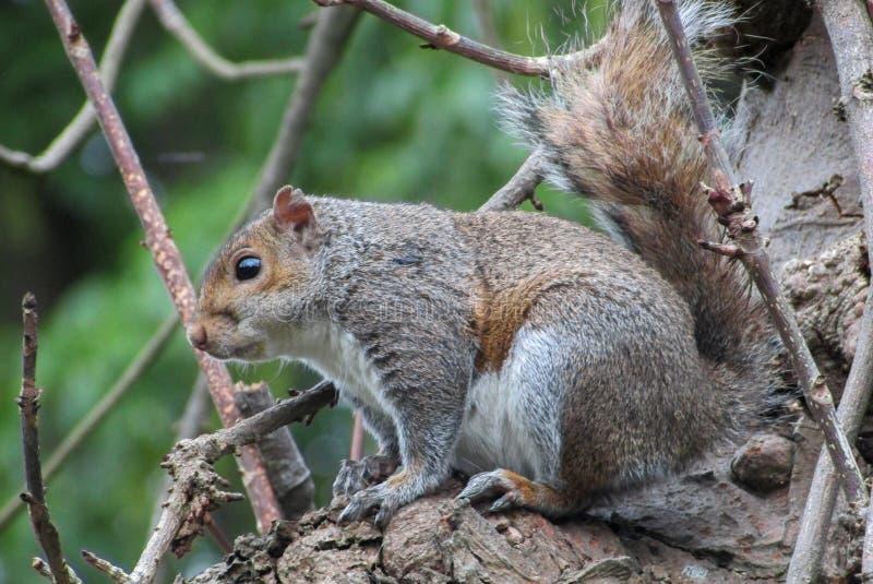 Esquilo irlandês imagens de stock