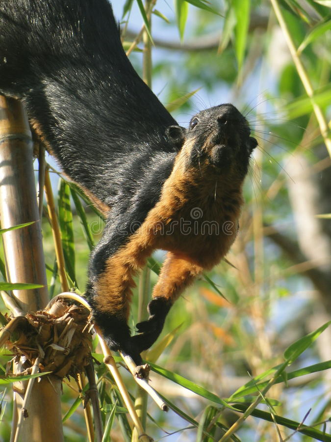 Esquilo malaio curioso foto de stock