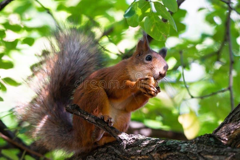 Esquilo na árvore imagem de stock royalty free