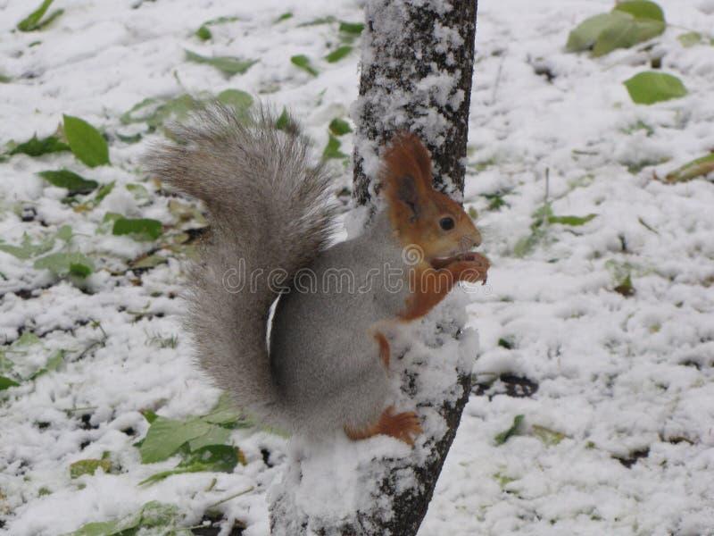 Esquilo na árvore no inverno imagem de stock royalty free