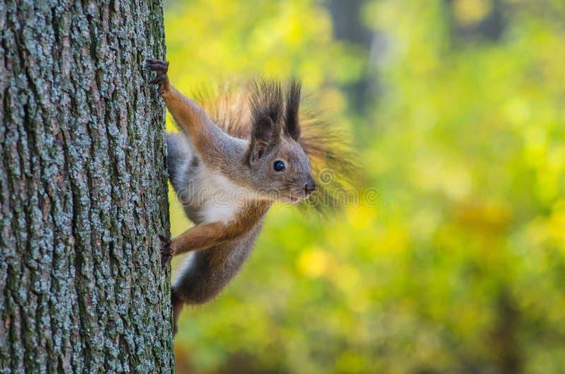 Esquilo na árvore no parque foto de stock