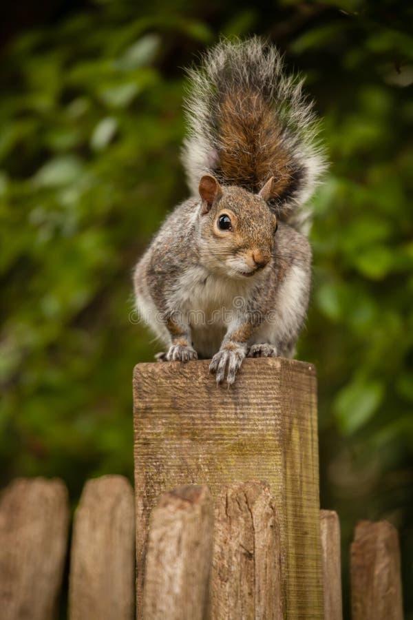 Esquilo na cerca foto de stock royalty free