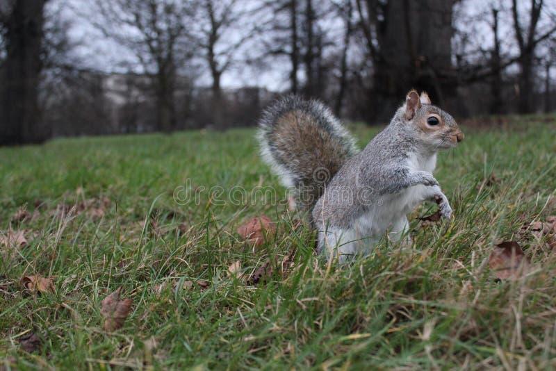 Esquilo na grama fotos de stock royalty free