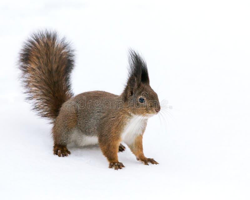Esquilo na neve no parque do inverno fotografia de stock royalty free