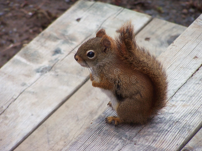 Esquilo na plataforma foto de stock
