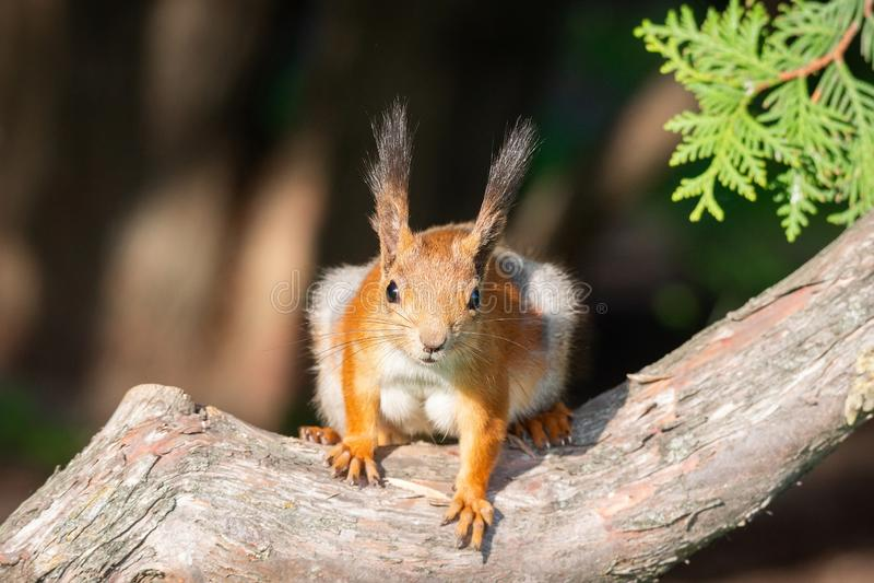 Esquilo na ?rvore fotos de stock