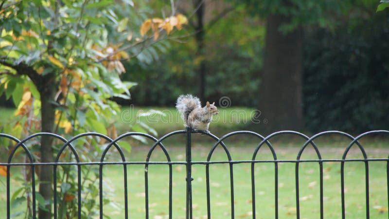 Esquilo no fench no parque de Greenwich perto de Londres imagens de stock royalty free