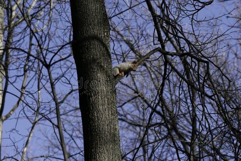 Esquilo no habitat natural O esquilo escala rapidamente árvores, encontra o alimento e come-o Dia de mola ensolarado na floresta fotos de stock royalty free