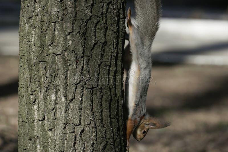 Esquilo no habitat natural O esquilo escala rapidamente árvores, encontra o alimento e come-o Dia de mola ensolarado na floresta imagem de stock