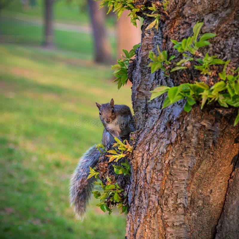 Esquilo no lado de uma árvore no verão imagens de stock