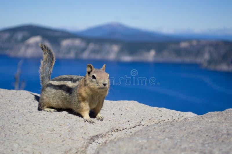 Esquilo no lago crater fotos de stock