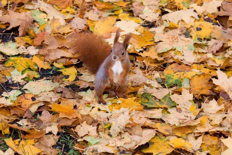 Esquilo no outono fotografia de stock royalty free