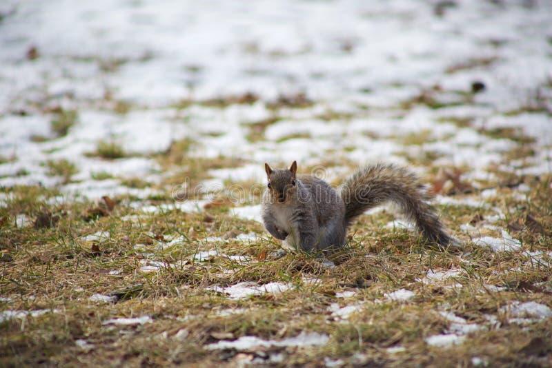 Esquilo no parque fotografia de stock