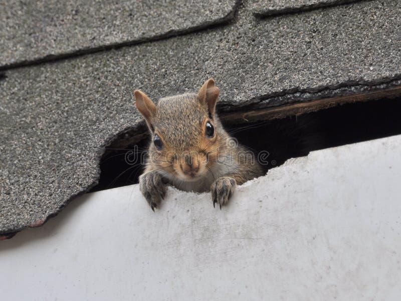 Esquilo no telhado imagens de stock royalty free