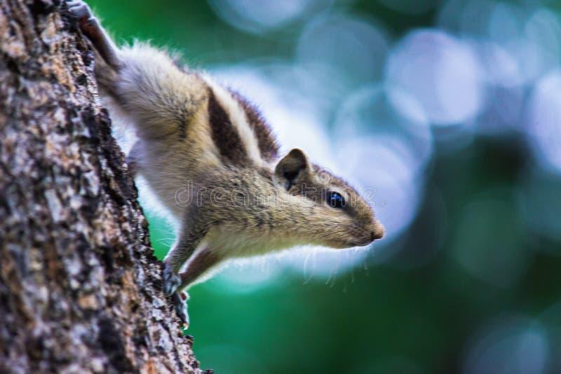 Esquilo no tronco de árvore em seu habitat natural foto de stock