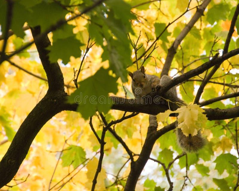 Esquilo nos ramos foto de stock
