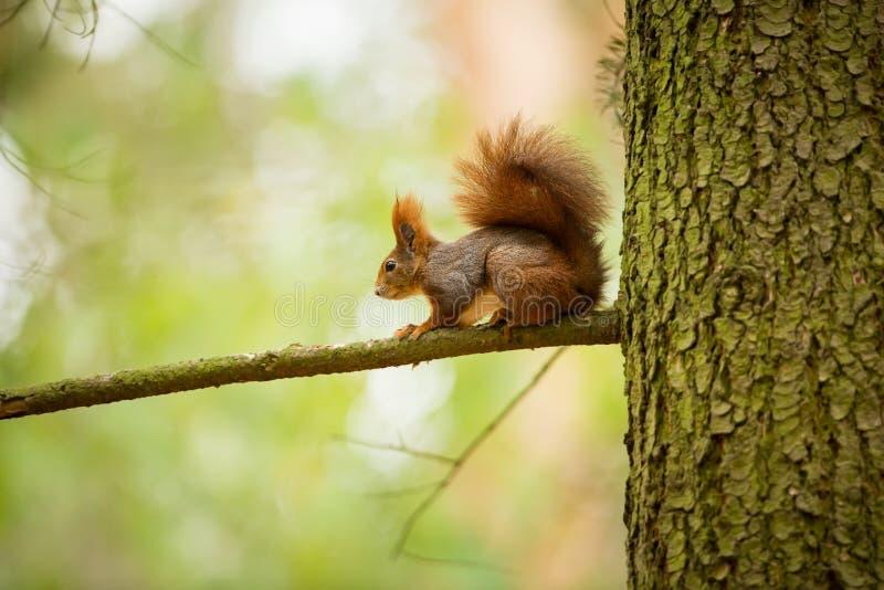 Esquilo O esquilo foi fotografado na República Checa fotos de stock royalty free
