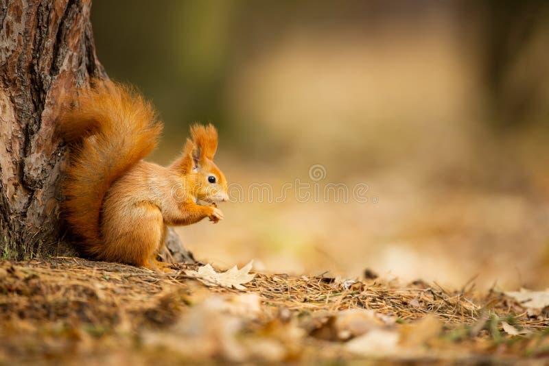 Esquilo O esquilo foi fotografado na República Checa imagem de stock