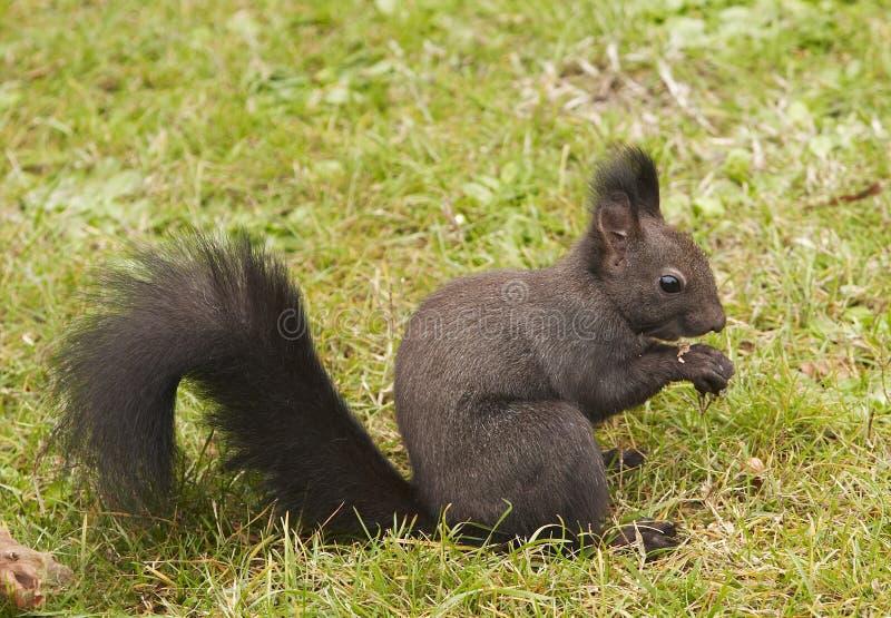 Esquilo obscuro foto de stock