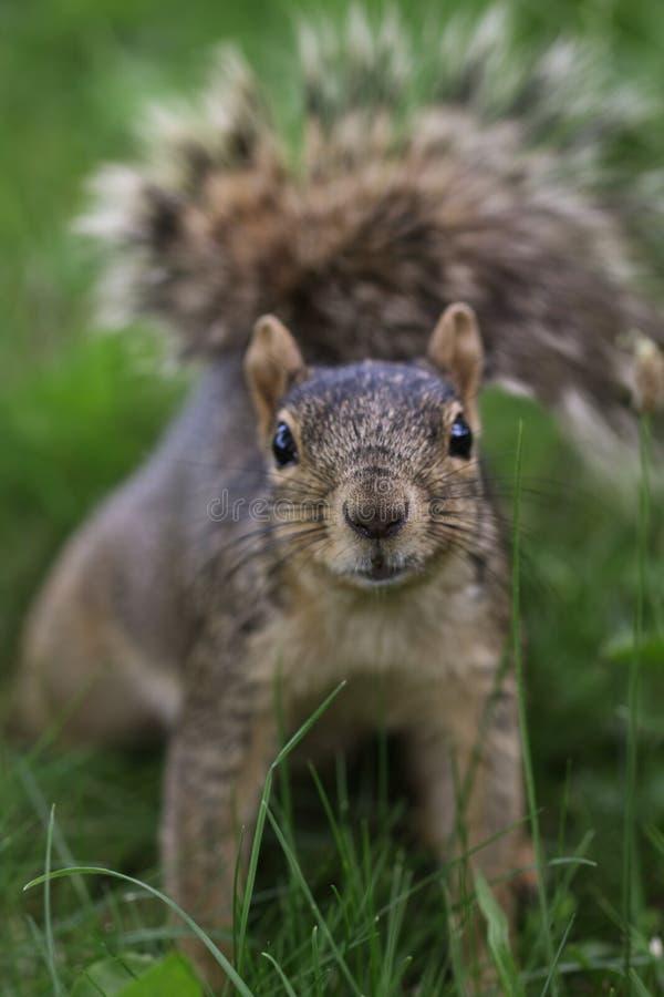 Esquilo pequeno bonito fotografia de stock