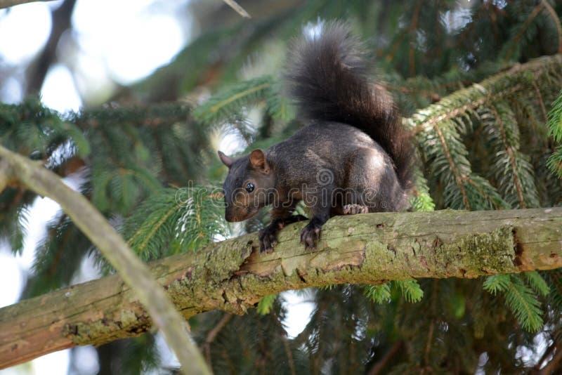 Esquilo preto fotografia de stock