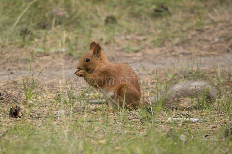 Esquilo que armazena porcas para o inverno fotografia de stock royalty free