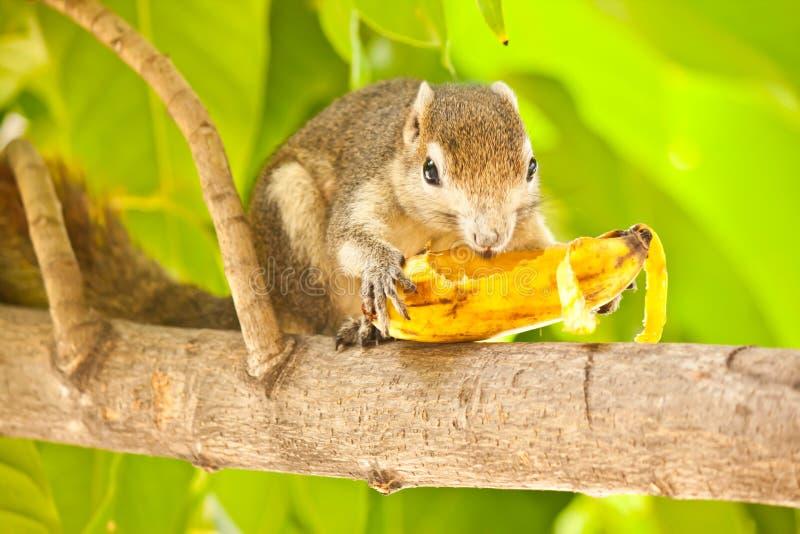 Esquilo que come a banana fotos de stock royalty free