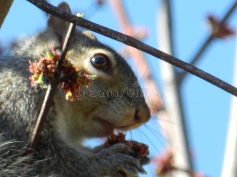 Esquilo que mantém um olho em você! fotografia de stock royalty free