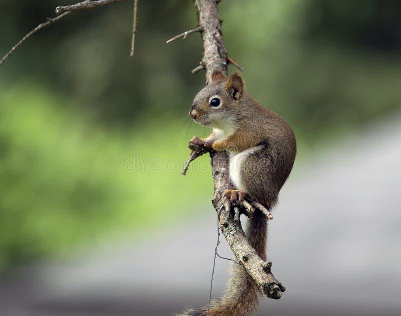 Esquilo que refrigera em um pinheiro em Michigan imagens de stock