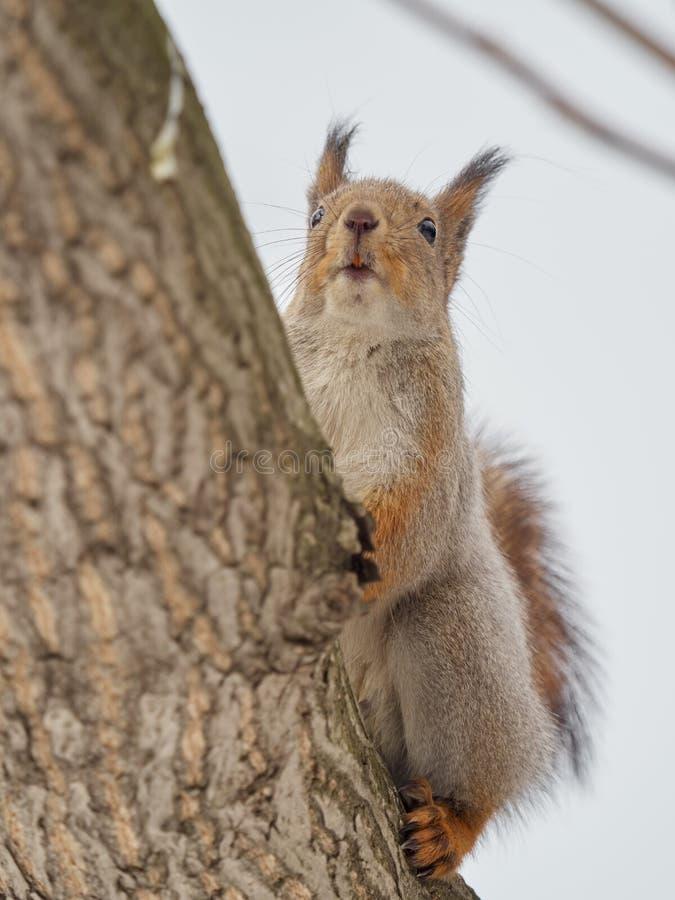 Esquilo que senta-se cautelosamente na árvore foto de stock royalty free