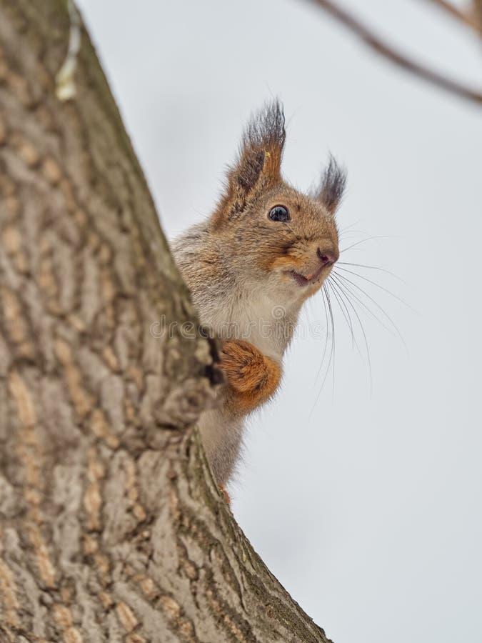 Esquilo que senta-se cautelosamente na árvore imagens de stock royalty free