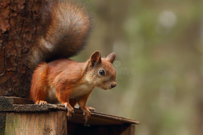 Esquilo que senta-se em uma casa de madeira fotos de stock