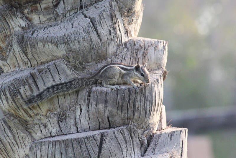 Esquilo que senta-se em uma palmeira da data foto de stock