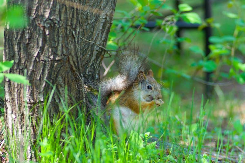 Esquilo que senta-se perto de uma árvore na grama verde fotografia de stock
