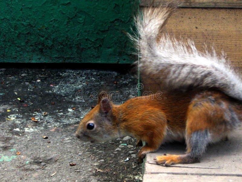 Esquilo Scared imagens de stock royalty free
