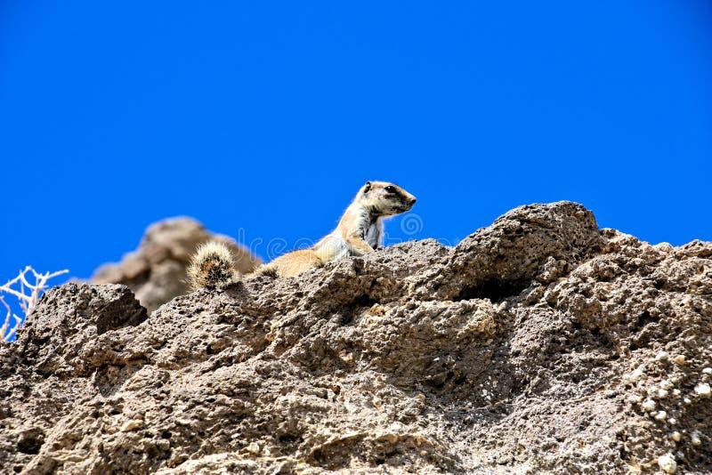 Esquilo selvagem em uma rocha que olha afastado imagens de stock