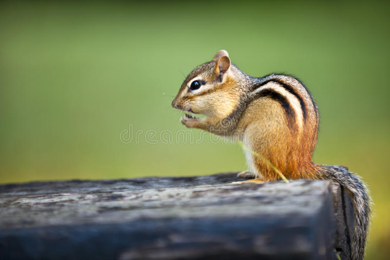 Esquilo selvagem que come a porca fotos de stock royalty free